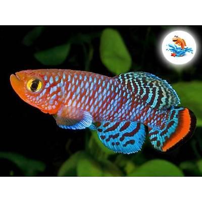 Sihirli Balık - Canlı Balık Yetiştirme Kiti