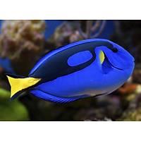 Blue Tang - L (Paracanthurus Hepatus)