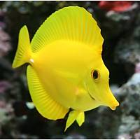 Hawaii Yellow Tang (Zebrasoma Flavescens) - S-M