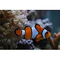 True Percula Clownfish (Amphiprion Percula)