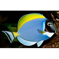 Powder Blue Tang - M