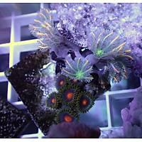 Metallic Glove Polyp Coral