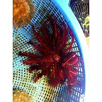 Red Feather Starfish