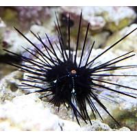 Black Longspine Urchin (Diadema setosum)