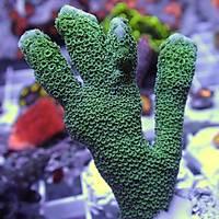 Metallic Green Montipora Digitata