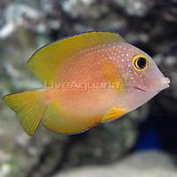 Yellow Eye Surgeonfish - M