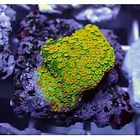 Neon Yellow Montipora