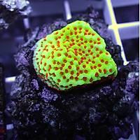 Grinch Montipora Coral