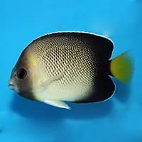 Goldenscaled Angelfish