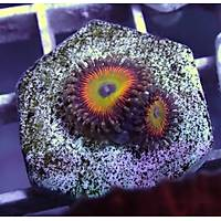 Latin Lovers Zoanthid