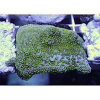 Metallic Green Montipora Coral