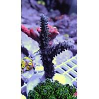 Blue Staghorn Acropora Coral (Acropora Cervicornis)