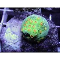 Meteor Shower Cyphastrea Coral (Cyphastrea sp.)