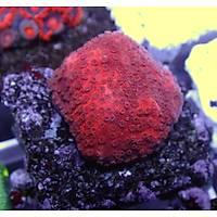 Red Sunset Montipora