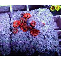 Fire And Ice Polyp (Zoanthus sp.)