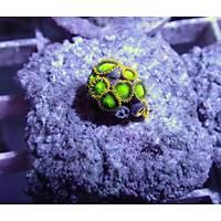 Radioactive Dragoneyes Zoanthid (Zoanthus sp)