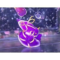 Purple Nudibranch2 (Deniz Tavþaný)