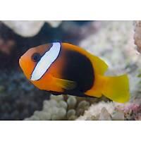 Black Anemonfish