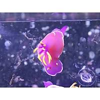 Purple Nudibranch1 (Deniz Tavþaný)