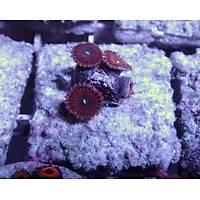 Purple People Eaters Polyp (Zoanthus sp.)