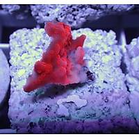 Setosa Montipora Coral