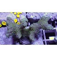 Stylophora Coral (Stylophora spp.)
