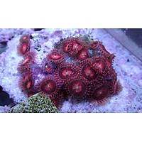 Flaming Mohicans Polyp (Zoanthus sp.)