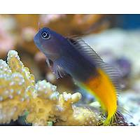 Red Tailed Blenny