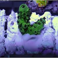 Acropora Sarmentosa Coral