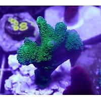 Metallic Green Montipora Digitata1