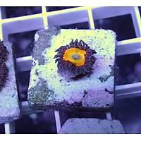 Sunny D Zoanthids (Zoanthus sp)