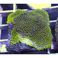 Metallic Montipora Plate Coral
