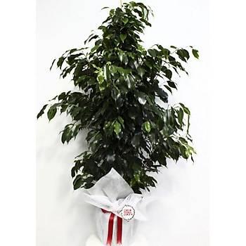 Büyük Boy Ýthal Ficus