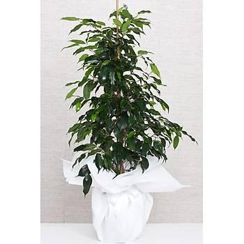 Orta Boy Ýthal Ficus