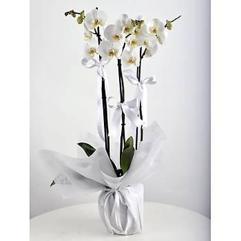Üç Dal Ýthal Beyaz Orkide