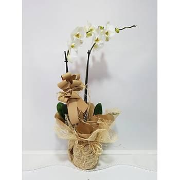 Çift Dal Ýthal Beyaz Orkide