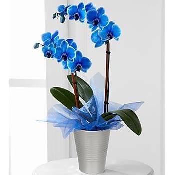 Çift Dal Seramikte Mavi Orkide