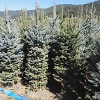 2.000 Adet Mavi Ladin Picea pungens 170-200 Cm. Yer Dikimi