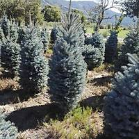 1.000 Mavi Ladin Picea pungens 170-200 Cm. Dolgun, Çuvalda