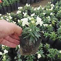 40 Adet Tüplü Aslanaðzý Çiçeði, Plantaginaceae, Karýþýk Renkli
