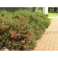 1.000 ADET TÜPLÜ GRAVÝLLA YAYILICI FÝDANI grevillea rosmarinifolia