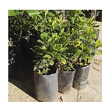 Gardenya Çiçeüði, 20-30 Cm. gardenia jasminoides