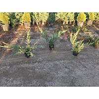 20 Adet Sabin Ardýcý, Juniperus sabina Saksýda, 40-50 Cm. Boyunda