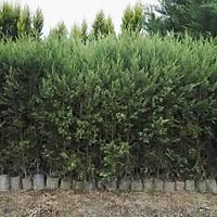100 Adet 130-150 Cm. Boyunda Tüplü Leylandi Fidaný, (çit çamý) Ürünler Tüplüdür, Tüplü Fidanlar Her Zaman Dikilebilir.