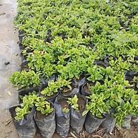 40 Adet Aptenia cordifolia, Buz çiçeði, Öðle Çiçeði