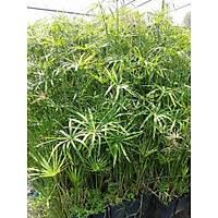 5 ADET JAPON ÞEMSÝYESÝ ÇÝÇEÐÝ cyperus alternifolius Kargo Dahil