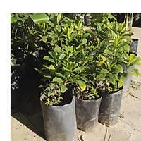 Gardenya Çiçeði, 20-30 Cm. gardenia jasminoides