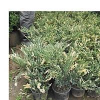 10 Adet Alacalý Ardýç Juniperus Variegata, Saksýda, 30-40 Cm. Boyunda