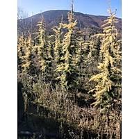 Altuni Himalaya Sediri Sarý Cedrus Deodora Aurea 2,5-3 m.