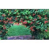 9 Adet Kýrmýzý-Sarý-Beyaz Çiçekli Kokulu Hanýmeli, Tüplü Dikime Hazýr
